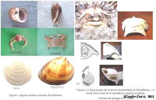 Los moluscos como presas de mayor importancia de los peces for Peces alimentacion